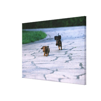 Miniature Dachshund 3 Canvas Print