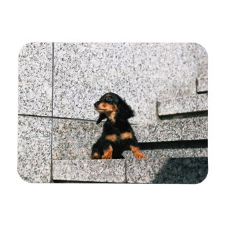 Miniature Dachshund 4 Rectangular Magnet