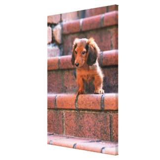Miniature Dachshund 5 Canvas Print