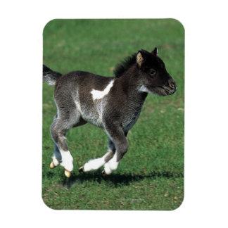 Miniature Foal Running Rectangular Photo Magnet