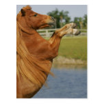 Miniature Horse Rearing Postcard