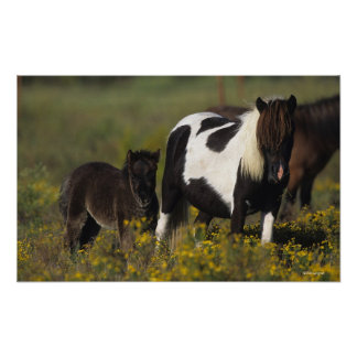 Miniature Mare & Foal in the Flowers Poster
