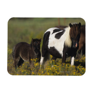 Miniature Mare & Foal in the Flowers Rectangular Photo Magnet