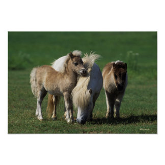 Miniature Mare & Foals 1 Poster
