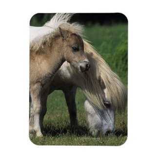 Miniature Mare & Foals 3 Rectangular Photo Magnet