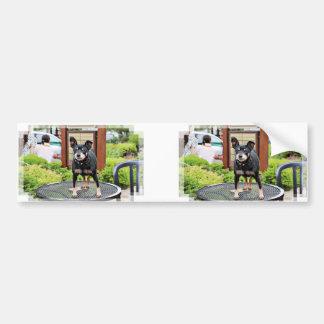 Miniature Pinscher - Elroy Car Bumper Sticker