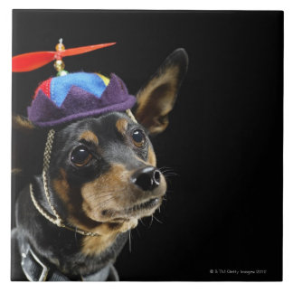 Miniature Pinscher in costume. Tile