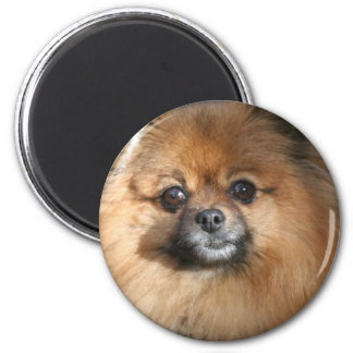Miniature Pomeranian Round Magnet
