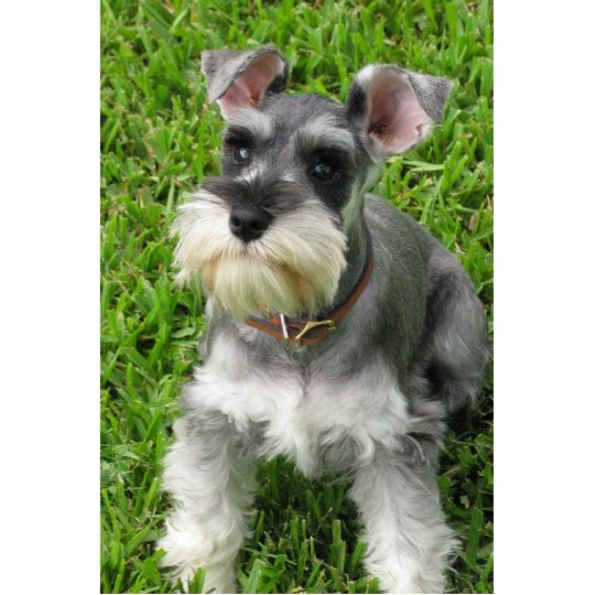 Miniature Schnauzer 3-D figurine Standing Photo Sculpture