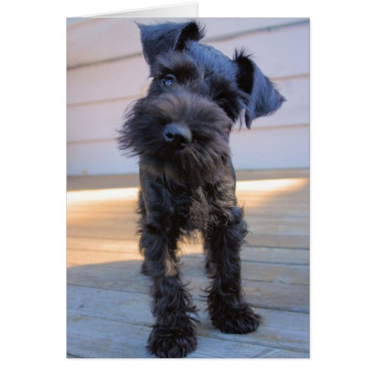 Miniature Schnauzer Note Card #1 - blank