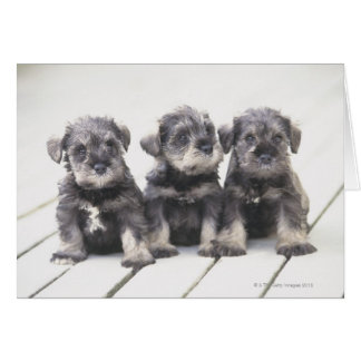 Miniature Schnauzer Puppies Card