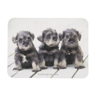 Miniature Schnauzer Puppies Magnet