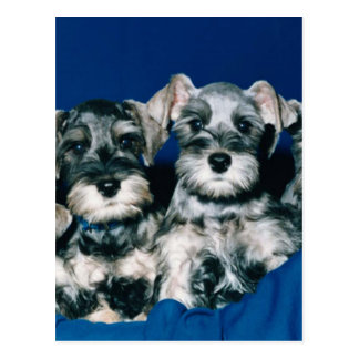 Miniature Schnauzer Puppies Postcard