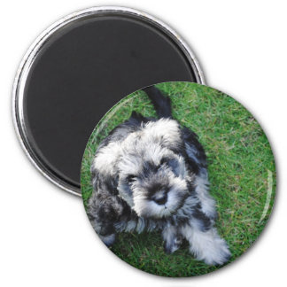 Miniature Schnauzer Puppy Magnet