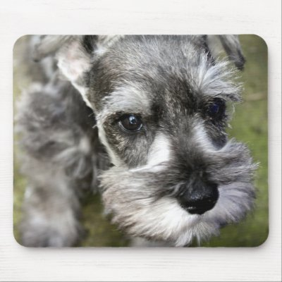 Mini Schnauzer Puppies on Heracles  Harry  The Miniature Schnauzer Puppy Is Too Cute To Ignore