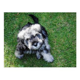 Miniature Schnauzer Puppy Postcard