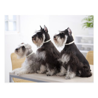 Miniature Schnauzers sitting at edge of table Postcard