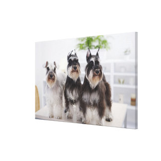 Miniature Schnauzers standing at edge of table Canvas Print