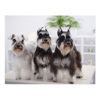 Miniature Schnauzers standing at edge of table Postcard