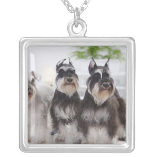 Miniature Schnauzers standing at edge of table Silver Plated Necklace