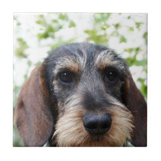 Miniature Wire Haired Dachshund Tile