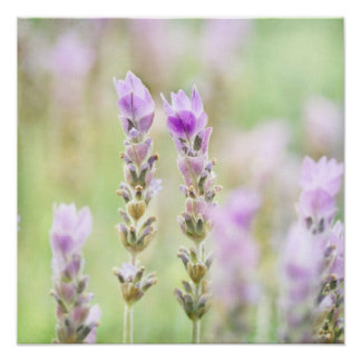 Minty Lavender - Dreamy Purple Mint Bedroom Decor Poster