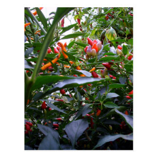 Miscellaneous - Chile Pepper Tree Pattern Postcard