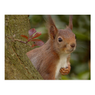 Mischievous Red Squirrel Postcard