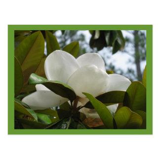 Mississippi Magnolia Postcard