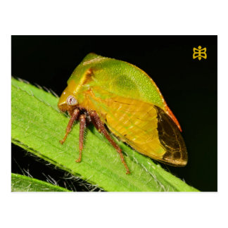 Missouri Leaf Hopper. Postcard