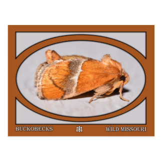 Missouri Moth Postcard