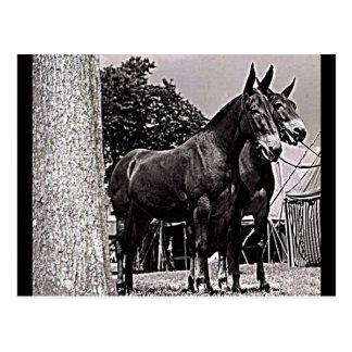 Missouri Mule Postcard