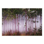Mist among pine trees at sunrise, Everglades Photograph