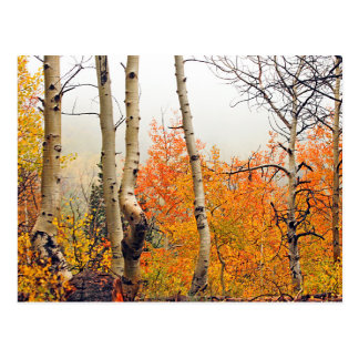 Misty Autumn Aspen Postcard