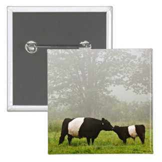 Misty scene of belted galloway cow mothering her 15 cm square badge