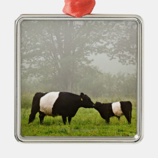 Misty scene of belted galloway cow mothering her christmas ornament