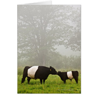 Misty scene of belted galloway cow mothering her greeting card