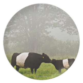 Misty scene of belted galloway cow mothering her plate