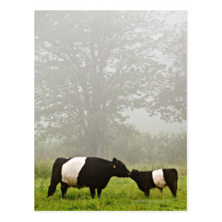 Misty scene of belted galloway cow mothering her postcard