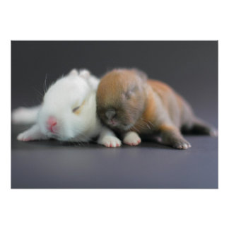 Mix breed of Netherland Dwarf Rabbits Poster