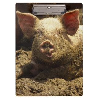 MO: Ste Genevieve, pig farm Clipboard
