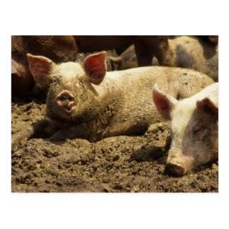 MO: Ste Genevieve, pig farm Postcard