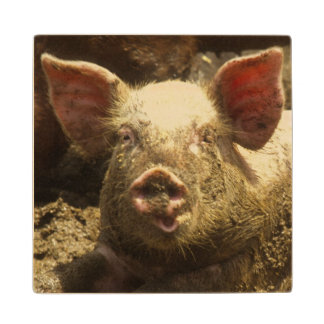 MO: Ste Genevieve, pig farm Wood Coaster