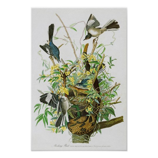 Mocking Bird John James Audubon Birds of America Poster