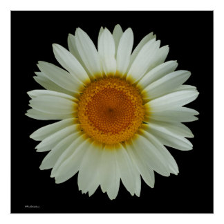 Modern Cool Floral Pop Art White Daisy on Black Poster