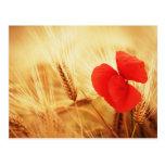 Mohnblume im Getreidefeld Postkarten