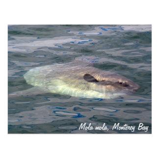 Mola mola (Ocean Sunfish) Postcard