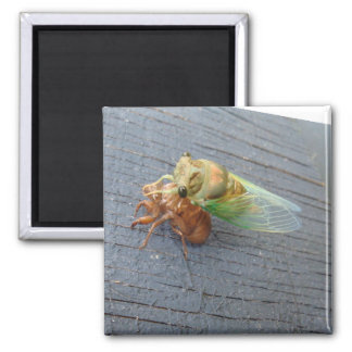 Molted Cicada Magnet - Insect Series