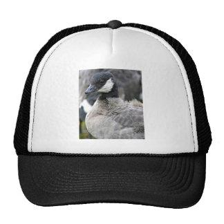 Molting cackling Canada goose Cap
