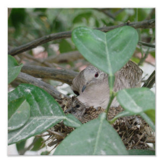 Mommy Dove with her Baby in Nest Poster
